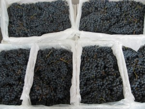 Fresh Chilean Wine Grapes