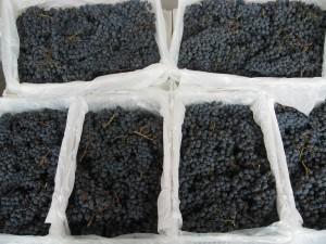 Fresh Chilean Wine Grapes