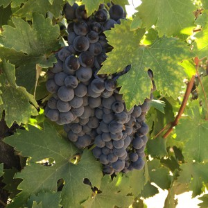 ancient zinfandel_lodi (2)