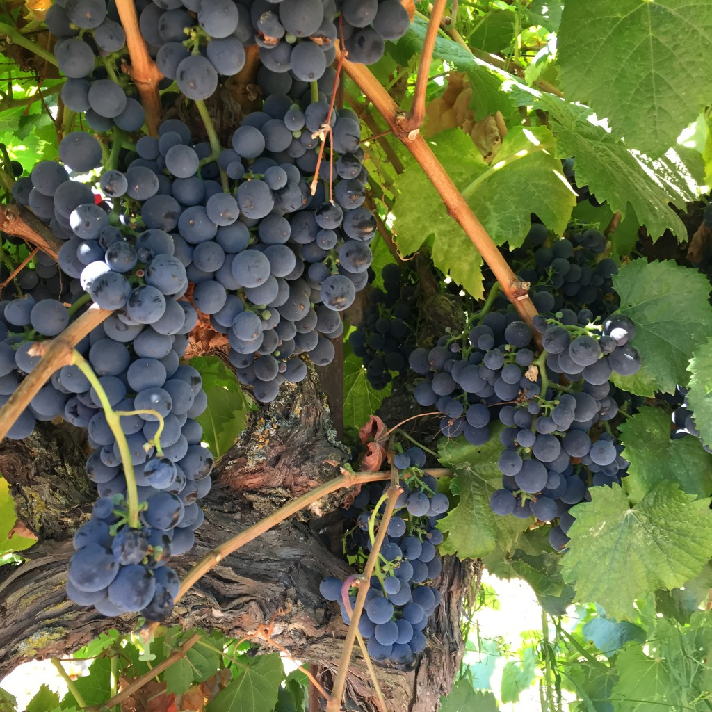 Mettler Zinfandel-winemaking-hwo to make wine-zinfandel-musto wine grape
