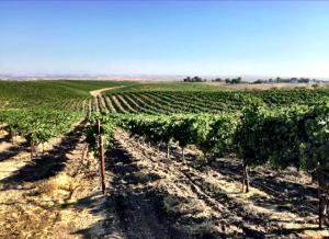 merlot-vineyard
