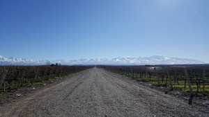 Musto Wine Grape_Argentina Vineyard (3)
