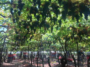 Musto Wine Grape_Chile_1 (2)