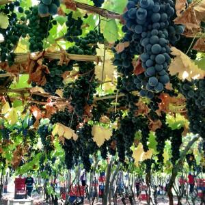 Musto Wine Grape_Chile_1 (5)