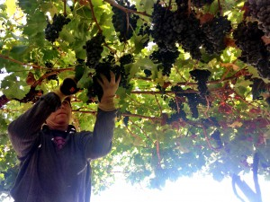 Musto Wine Grape_Chile_1 (6)