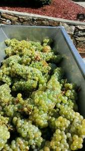 chilean grapes_home winemaking