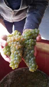 sauvignon blanc_chile_musto wine grape_winemaker_winemaking