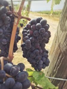 wa state_pinot grapes