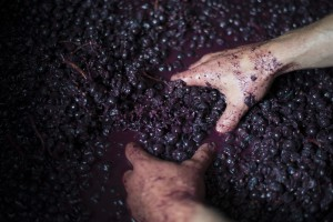 Grapes are crushed by hand