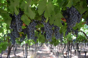 Red Grapes Hanging