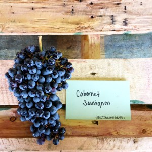musto wine grape chilean cabernet sauvignon grapes for winemaking for wineries and home winemakers