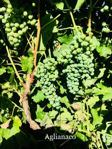 Aglianico_Italian California Wine Grapes_Musto Wine Grape_Winemaking