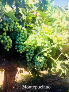 Montelpulciano_Italian California Wine Grapes_Musto Wine Grape_Winemaking