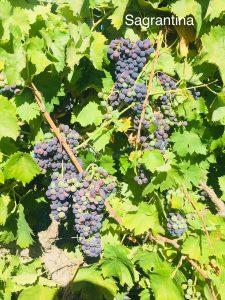 Sagrantino_Italian California Wine Grapes_Musto Wine Grape_Winemaking