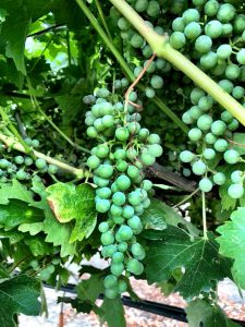 Musto Wine Grape-home winemaking-how to make wine- winemaker