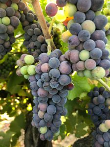 Pinot Noir_Musto Wine Grape_Home Winemaking_Lodi Pinot Noir_Winemaker_Winemaking