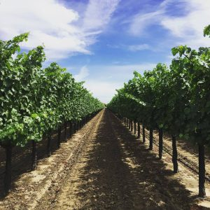 Musto Wine Grape Harvest Update – Brix Levels, Harvest Dates, and Delivery Dates
