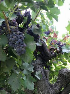 Ancient Vine Wine Grapes for Home Winemaking from Musto Wine Grape Co.