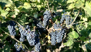 Winemaking_Old Vine Zinfandel_Musto Wine Grape