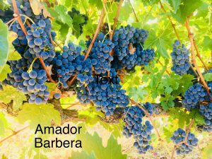 Amador_Winemaking Grapes_Barbera