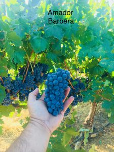Amador_Winemaking Grapes_Barbera_2