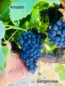 Amador_Winemaking Grapes_Sangiovese