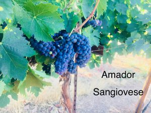 Amador_Winemaking Grapes_Sangiovese_2