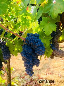 Amador_Winemaking Grapes_Zinfandel