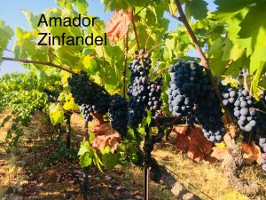 Amador_Winemaking Grapes_Zinfandel_2
