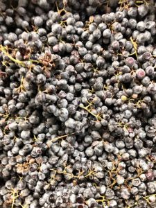 tempranillo_how to make wine_musto wine grape