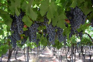musto wine grape_chilean wine_chilean wine grapes_Red Grapes Hanging