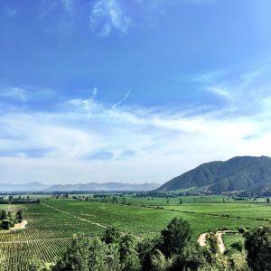 musto wine grape_chiean wine grapes_chilean wine juice_chilean winemaking