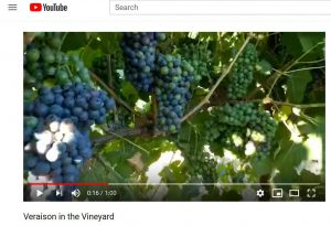 jeff bitter_california wine grapes_winemaking_musto wine grape