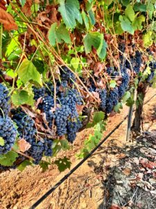 touriga nacional-winemaking grapes-winemaking