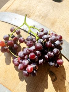 musto wine grape-how to make wine- pink wine-wine time-wine addict-black muscat-winemaking