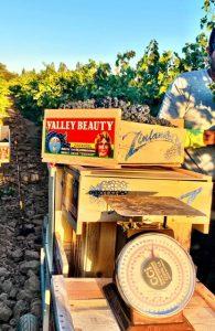 valley beauty zinfandel-musto wine grape- home winemaking-winemaking