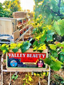 valley beauty zinfandel-winemaking-musto wine grape