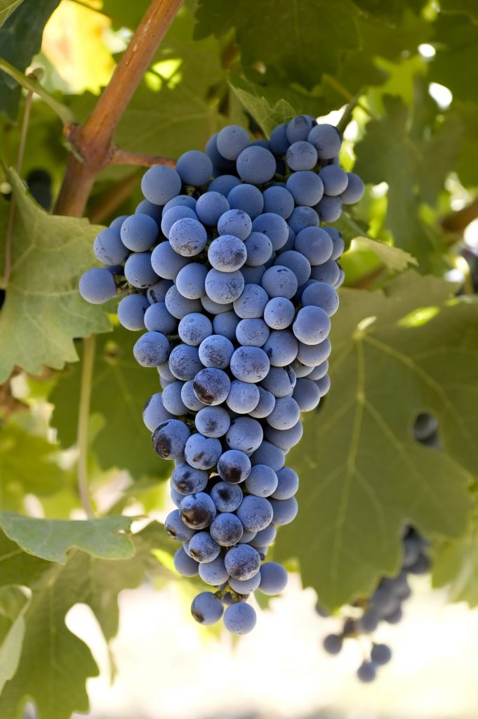 Cabernet Sauvignon - wine - winemaking - how to make wine