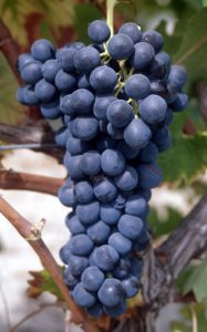 Syrah - wine - winemaking - how to make wine
