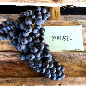 chilean malbec - how to make wine - how to make malbec - winemaking - winemaker - musto wine grape