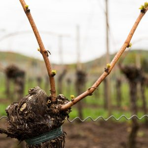 pruning grape vines - how to grow grapes - winemaking - backyard vineyard - musto wine grape co - home vineyard