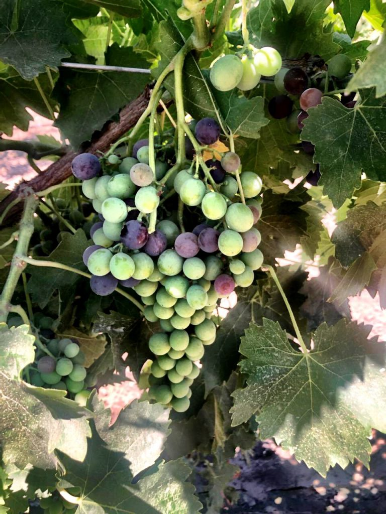 Black Muscat_Wine Grapes_Winemaking_How to Make Wine_Winemaking Instructions_Musto Wine Grape