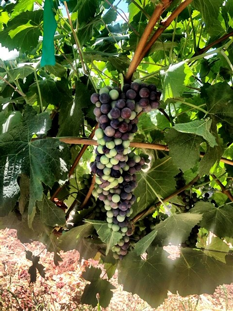 Teroldego_Wine Grapes_Winemaking_How to Make Wine_Winemaking Instructions_Musto Wine Grape