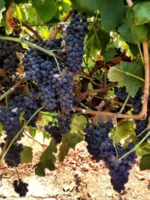 Touriga Nacional-Winemaking Grapes