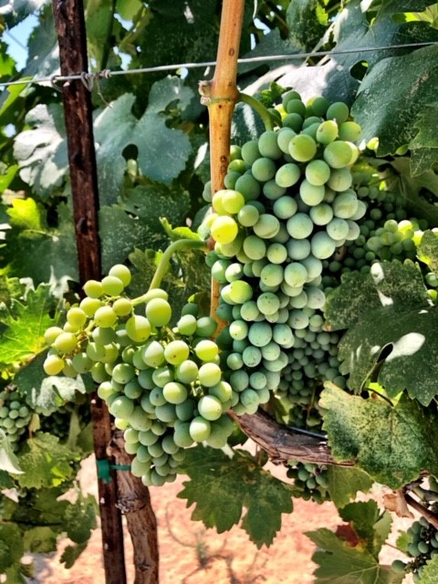 Fiano-California wine-wine grapes-grapes to make wine-winemaking-musto wine grape