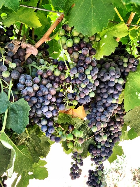 winemaking-wine grapes-grapes to make wine