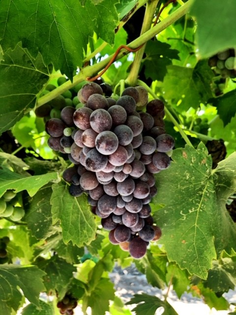 kings river ranch-wine grapes-musto wine grape-winemaking-home winemaking-how to make wine-winemaking instructions-grapes for winemaking