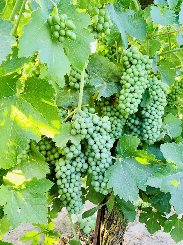 Mettler Ranch_Grenache_Musto Wine Grape_Winemaking Instructions_How to make wine