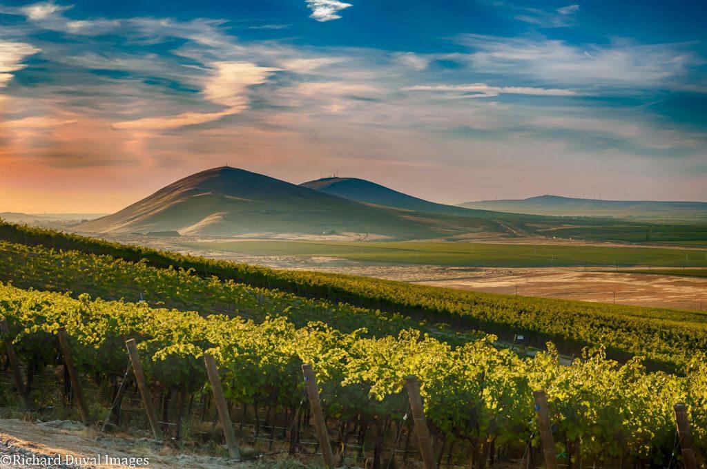 Candy Mountain AVA-WA State-winemaking-wine grapes-musto wine grape