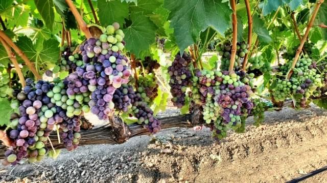 sangiovese-lanza-musto-vineyards-winemaking-winemaking instructions-how to make wine-musto wine grape-wine grapes